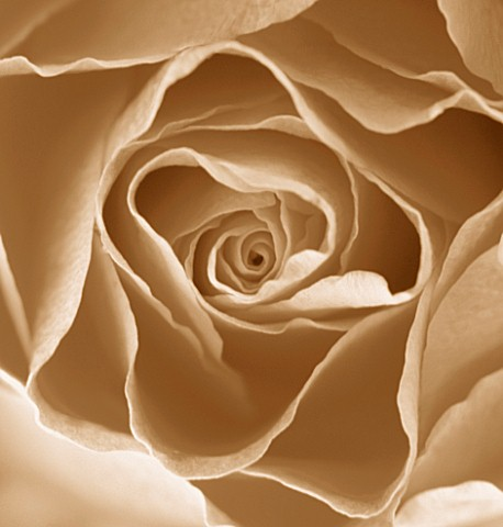 BLACK_AND_WHITE_SEPIA_TONED_IMAGE_OF_THE_CENTRE_OF_A_ROSE_ROSA__PATTERN