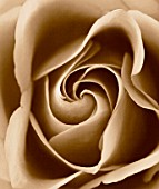 BLACK AND WHITE SEPIA TONED IMAGE OF THE CENTRE OF A ROSE. ROSA  PATTERN