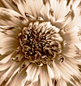 BLACK AND WHITE SEPIA TONED IMAGE OF DAHLIA MUMS LIPSTICK