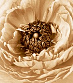 BLACK AND WHITE SEPIA TONED IMAGE OF THE CENTRE OF A RANUNCULUS