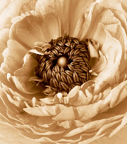 BLACK_AND_WHITE_SEPIA_TONED_IMAGE_OF_THE_CENTRE_OF_A_RANUNCULUS