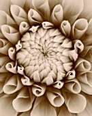 BLACK AND WHITE SEPIA TONE IMAGE OF DAHLIA TIPTOE (MINIATURE FLOWERED DECORATIVE). PATTERN