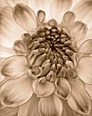 BLACK AND WHITE SEPIA TONE IMAGE OF CLOSE UP OF CENTRE OF DAHLIA AUDACITY (MEDIUM FLOWERED DECORATIVE) . ABSTRACT  PATTERN