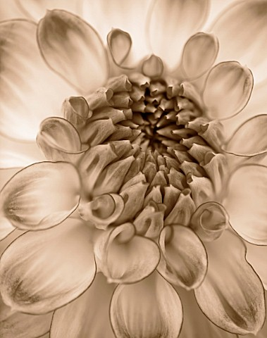 BLACK_AND_WHITE_SEPIA_TONE_IMAGE_OF_CLOSE_UP_OF_CENTRE_OF_DAHLIA_AUDACITY_MEDIUM_FLOWERED_DECORATIVE