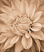 BLACK AND WHITE SEPIA TONE IMAGE OF CLOSE UP OF CENTRE OF DAHLIA MABEL ANN (GIANT FLOWERED DECORATIVE). ABSTRACT  PATTERN  NATURE