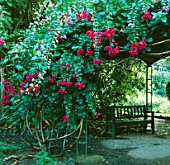 BOUGAINVILLEA TRAILS OVER ARCHWAY WITH SEAT BENEATH.  JARDIN CANARIO  GRAND CANARIA  SPAIN.