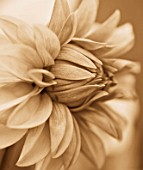 BLACK AND WHITE SEPIA TONE IMAGE OF CLOSE UP OF CENTRE OF DAHLIA DAVID HOWARD. ABSTRACT  PATTERN  NATURE
