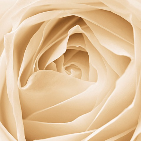 BLACK_AND_WHITE_SEPIA_TONE_IMAGE_OF_CLOSE_UP_OF_CENTRE_OF_ROSE_FLOWER_ROSA_ABSTRACT__PATTERN__NATURE