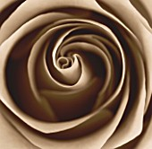 BLACK AND WHITE SEPIA TONE IMAGE OF CLOSE UP OF CENTRE OF ROSE FLOWER (ROSA). ABSTRACT  PATTERN  NATURE
