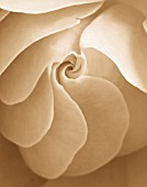 BLACK AND WHITE SEPIA TONE IMAGE OF CLOSE UP OF CENTRE OF ROSE (ROSA) FLOWER. ABSTRACT  PATTERN  NATURE