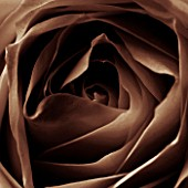 BLACK AND WHITE SEPIA TONED CLOSE UP OF CENTRE OF ROSE. ROSA.ABSTRACT.PATTERN.NATURE.