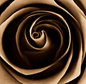 BLACK AND WHITE SEPIA TONED CLOSE UP OF CENTRE OF ROSE. ROSA. ABSTRACT.PATTERN.NATURE.