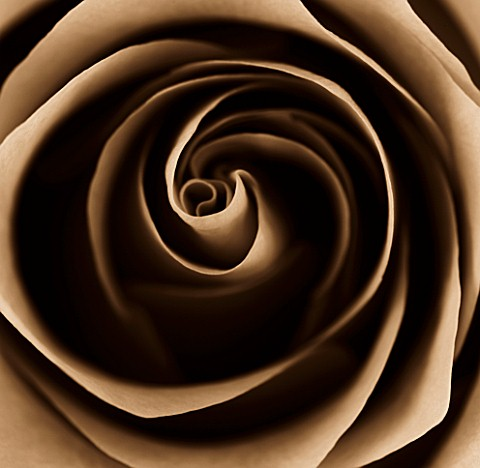 BLACK_AND_WHITE_SEPIA_TONED_CLOSE_UP_OF_CENTRE_OF_ROSE_ROSA_ABSTRACTPATTERNNATURE
