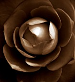 BLACK AND WHITE SEPIA TONED CLOSE UP OF CENTRE OF CAMELLIA JAPONICA COMPACTA ALBA. ABSTRACT. PATTERN.NATURE.