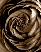 BLACK AND WHITE SEPIA TONED CLOSE UP OF CENTRE OF RANUNCULUS. ABSTRACT.PATTERN.NATURE.