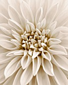 BLACK AND WHITE SEPIA TONED CLOSE UP OF CENTRE OF DAHLIA DAZZLER