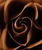 BLACK AND WHITE SEPIA TONE CLOSE UP OF CENTRE OF A ROSE.ROSA.ABSTRACT.PATTERN.NATURE.