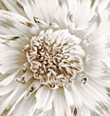 BLACK AND WHITE SEPIA TONED CLOSE UP OF CENTRE OF DAHLIA MUMS LIPSTICK