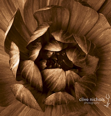 BLACK_AND_WHITE_SEPIA_TONED_CLOSE_UP_OF_CENTRE_OF_DAHLIA_FIGURINE_ABSTRACTNATUREPATTERN