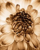 BLACK AND WHITE SEPIA TONED CLOSE UP OF CENTRE OF DAHLIA AUDACITY (MEDIUM FLOWERED DECORATIVE) . ABSTRACT  PATTERN.NATURE.