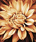 BLACK AND WHITE SEPIA TONED CLOSE UP OF CENTRE OF DAHLIA MABEL ANN (GIANT FLOWERED DECORATIVE). ABSTRACT  PATTERN  NATURE