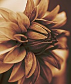 BLACK AND WHITE SEPIA TONED CLOSE UP OF CENTRE OF DAHLIA DAVID HOWARD. ABSTRACT  PATTERN  NATURE