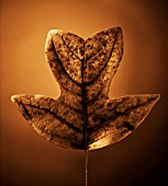 BRONZE TONED IMAGE OF AUTUMN LEAF