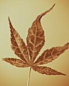 TONED IMAGE OF ACER LEAF