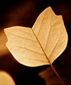TONED IMAGE OF YELLOW LEAF OF LIRIODENDRON TULIPIFERA ARDIS IN AUTUMN