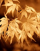 SEPIA TONED IMAGE OF ACER LEAVES IN AUTUMN