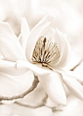 BLACK AND WHITE SEPIA TONE IMAGE OF MAGNOLIA CAMPBELII