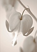 BLACK AND WHITE SEPIA TONE IMAGE OF DICENTRA SPECTABILIS (BLEEDING HEART)