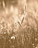 BLACK AND WHITE SEPIA TONE IMAGE OF WHEAT. WILDFLOWER