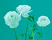TEAL TONED CLOSE UP OF RANUNCULUS