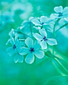 TEAL TONED CLOSE UP OF PHLOX CHATTAHOOCHEE
