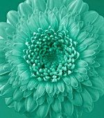 TEAL TONED CLOSE UP OF DAHLIA