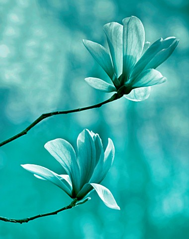 TEAL_TONED_IMAGE_OF_MAGNOLIA_GALAXY