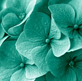TEAL TONED IMAGE OF HYDRANGEA