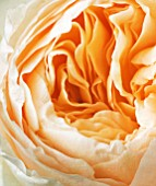 CLOSE UP OF THE CREAMY APRICOT FLOWER OF THE DAVID AUSTIN ROSE ROSE JULIET -  ENGLISH CUT ROSE (AUSJAMESON)