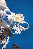 PETTIFERS  OXFORDSHIRE: GARDEN IN SNOW IN WINTER - SEED HEADS OF HONESTY - LUNARIA ANNUA