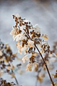 FROSTY FLOWER HEAD OF HYDRANGEA PANICULATA LAST POST AT THE RHS GARDENS  WISLEY  SURREY. WINTER