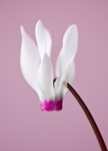 CLOSE_UP_OF_THE_WHITE_AND_PALE_PINK_FLOWERS_OF_CYCLAMEN_PERSICUM_ALPINE