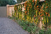 DESIGNERS ERIC OSSART AND ARNAUD MAURIERES  MOROCCO: AL HOSSOUN - GRAVEL COURTYARD AND WALL WITH ALOE VERA AND ORANGE FLOWERS OF  PYROSTEGIA VENUSTA