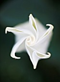 DESIGNERS ERIC OSSART AND ARNAUD MAURIERES  MOROCCO: AL HOSSOUN: CLOSE UP OF THE WHITE FLOWER OF BRUGMANSIA X CANDIDA