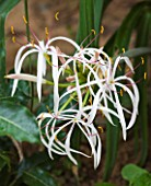 DESIGNERS ERIC OSSART AND ARNAUD MAURIERES  MOROCCO: AL HOSSOUN - CLOSE UP OF THE WHITE FLOWER OF CRINUM ASIATICUM