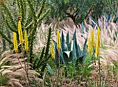 DESIGNERS ERIC OSSART AND ARNAUD MAURIERES  MOROCCO: DAR IGDAD - DRY GARDEN WITH BORDER OF PENNISETUM SETACEUM  AGAVES  ALOE VERA AND CYLINDROPUNTIA SUBULATA - EVES NEEDLE CACTUS