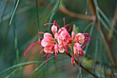 CLOSE UP OF THE PINK FLOWERS OF GREVILLEA JOHNSONII
