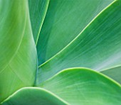 CLOSE UP OF THE LEAVES OF AGAVE ATTENUATA FROM MEXICO. ABSTRACT