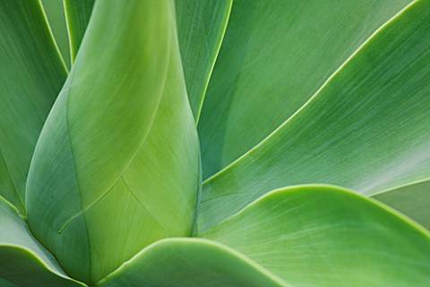 CLOSE_UP_OF_THE_LEAVES_OF_AGAVE_ATTENUATA_FROM_MEXICO