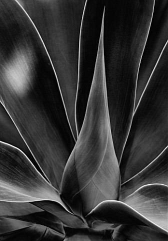 BLACK_AND_WHITE_CLOSE_UP_OF_THE_LEAVES_OF_AGAVE_ATTENUATA_FROM_MEXICO